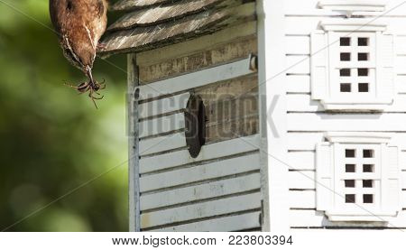 A parent wren is delivering a spider meal to the growing family in the birdhouse.