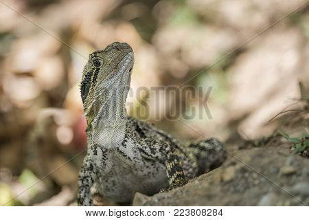 Close-up macro photograph of an Eastern Water Dragon on the Gold Coast, Queensland, Australia.