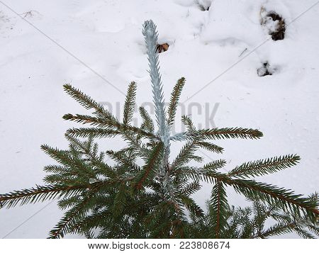 Trees and chemical coating (Picea abies), Seedlings of forest trees,Chemical treatment of woody plants