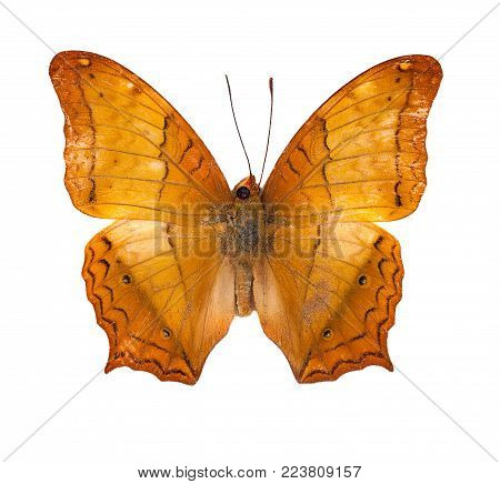 Beautiful flying butterfly, Common Cruiser (vindula erota) with fully wings stretching isolated on white background, amazing nature