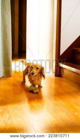 a longhair dachshund on a wooden floor.