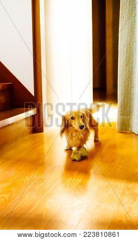 a longhair dachshund on a wooden floor