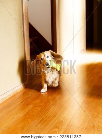Longhair dachshund with a toy on a wooden floor