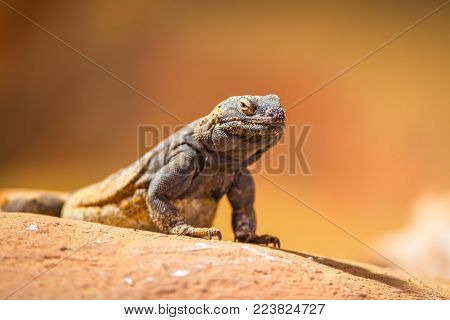 Portrait of eastern collared lizard, also called common collared lizard or Oklahoma collared lizard