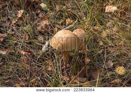 Group Of Harvested Porcini Mushrooms (boletus Edulis, Porcino Or King Bolete) On Natural Wooden Back