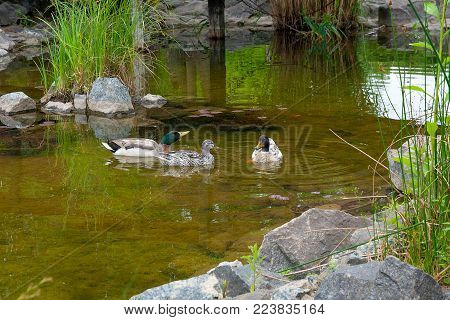 Group Of Mallard Ducks Floating On A Pond At Summer Time.