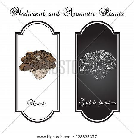 Maitake mushroom Grifola frondosa , or hen of the woods, medicinal plant. Hand drawn botanical vector illustration