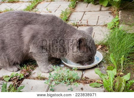 Grey cat is lapping milk from a saucer on the stone path with green grass.
