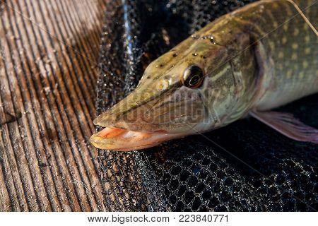 Freshwater Pike And Fishing Equipment Lies On Black Fishing Net..