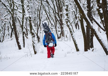 Adventurer with a snowboard attached to his backpack walks through the forest after snowfall, among snow covered trees. Back view. Adventure in wilderness.