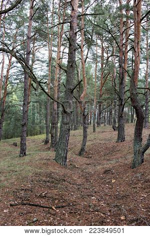 Remains of trenches lines of World War One in the pine spring forest of Volyn. Traces of Trench warfare WW1 nowadays. Battleground of Brusilov Offensive or June Advance