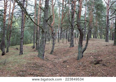 Remains of trenches lines of World War One in pine spring forest of Volyn. Traces of Trench warfare WW1 nowadays. Battleground of Brusilov Offensive or June Advance