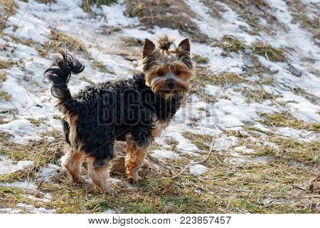 Small yorkshire terrier on a walk through on snowy field in winter