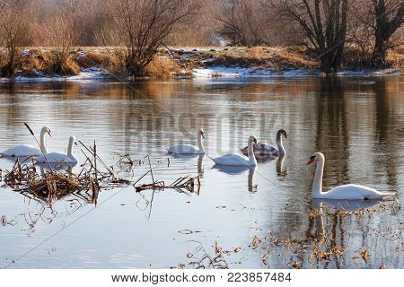 Flock of white swans in the winter swims along watery surface of the river