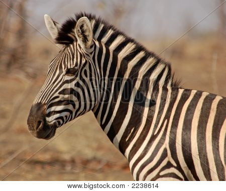 Zebra Head And Shoulders
