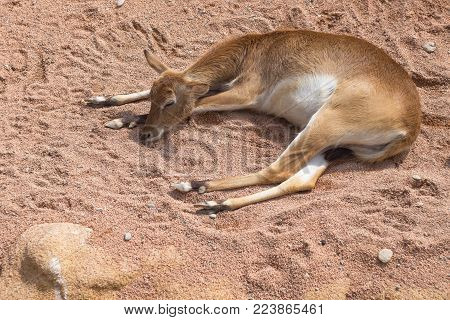 african animals in africa, antelope, young female gazelle resting on the sand of the African savannah