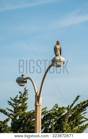 Coopers Hawk sitting high and proud on top of parking lot light pole.