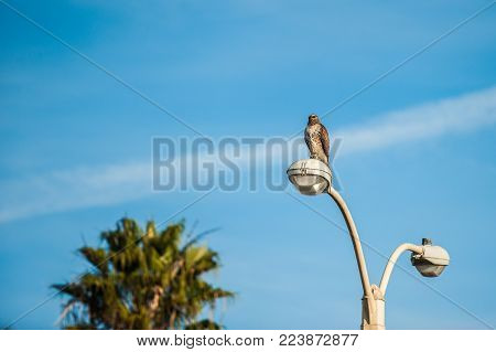 Cooper's Hawk perched high on top of light pole overlooking the land for food.