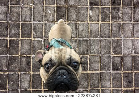 Symbol of the New Year of the Dog on the Chinese calendar cute pug close-up against a wooden paved roadway