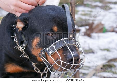 Beautiful Rottweiler dog for a walk in the yard