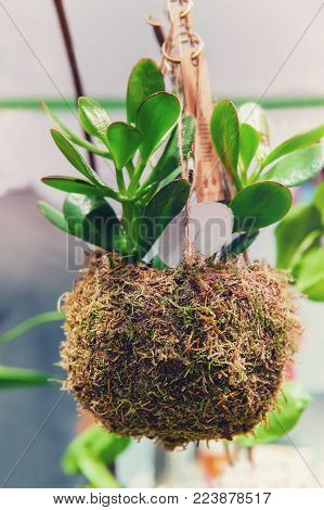The young plant of the succulent jade in the adapted planter with natural material and hanging moss. Modern advanced farming of domestic plants. Floral market.