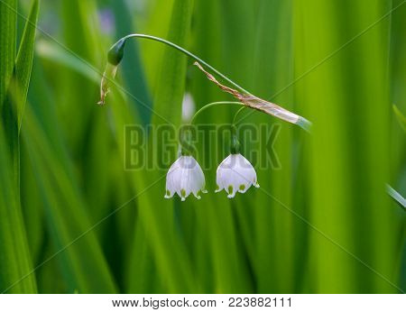 Lily of the valley (Convallaria Majalis) on a green Meadow. View on beautiful white Lilies of the valley on a Field. White May Bells. Flowers and Nature Backgrounds.