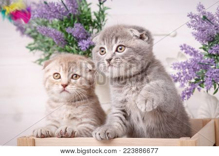 Portrait of two Scottish kittens. Playful cats in the drawer. Decorations near cats. Beautiful cat background. Lavender flowers