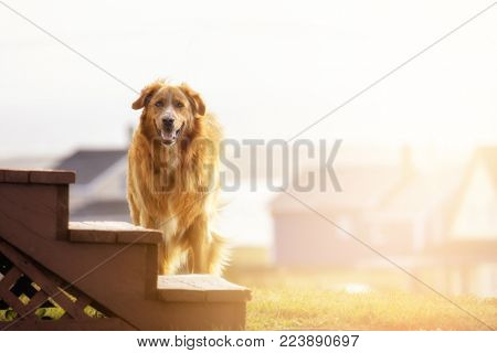 Beautiful young adult golden retriever dog. Outdoor portrait in late afternoon sunshine.