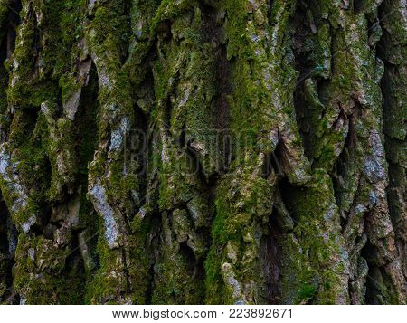 Bark of Elm Tree. Seamless Tileable Texture.
