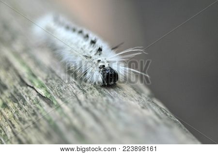 Detail of a Lophocampa caryae white black hairy caterpillar crawling on a tree log. Hickory tussock moth or hickory halisidota of Erebidae family.