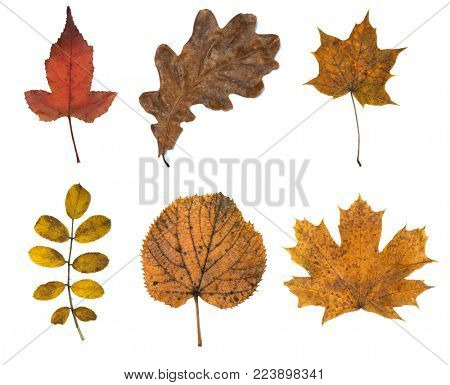 Set of six autumn leaves isolated on white background