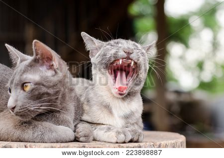 Funny cat opening mouth and yawning, cute animal and pet