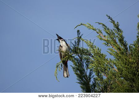 Red whiskered Bulbul Bird on Tree ,Pycnonotus jocosus poster