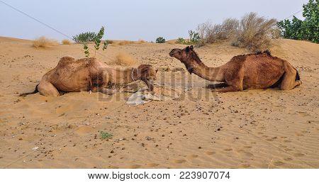Camels Eating On Thar Desert In Jaisalmer, Rajasthan State Of India.