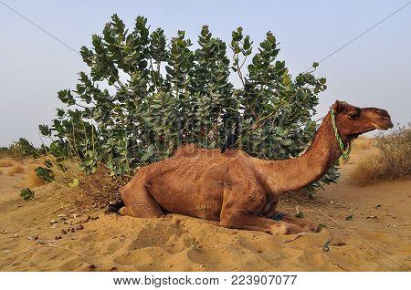 A Camel Lying On Thar Desert In Jaisalmer, Rajasthan State Of India.