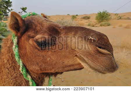 Head Of A Camel On Thar Desert In Jaisalmer, Rajasthan State Of India.