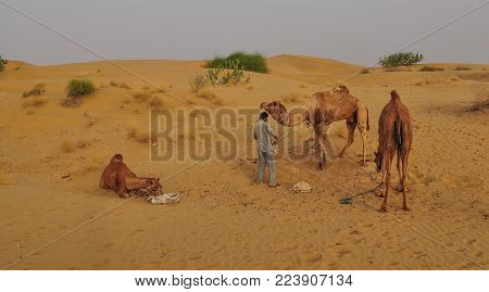 A Man With Camels On Thar Desert In Jaisalmer, Rajasthan State Of India.