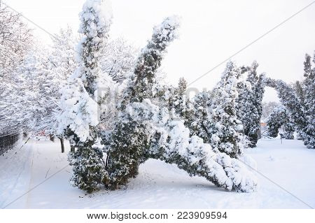 After the Snow Storm: Coping with Snow- and Ice-Damaged Trees. Snow damaged Thuja occidentalis trees.