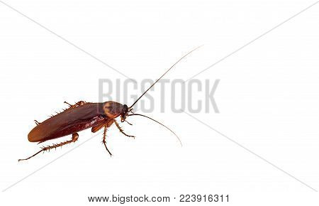 Closeup Cockroach Isolated on White Background, Clipping Path