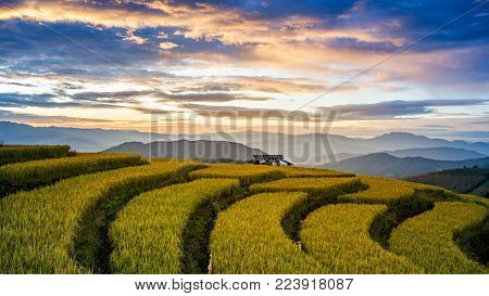 Golden Rice Fields In The Countryside Of In Pa Pong Pieng , Mae Chaem, Chiang Mai, Thailand