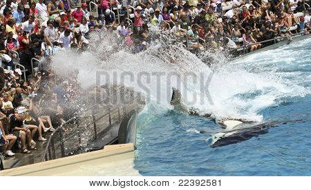 A Killer Whale Splashes The Crowd In An Oceanarium Show