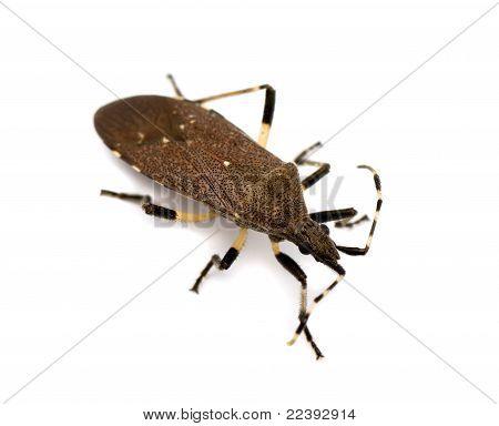 Spurge Bug