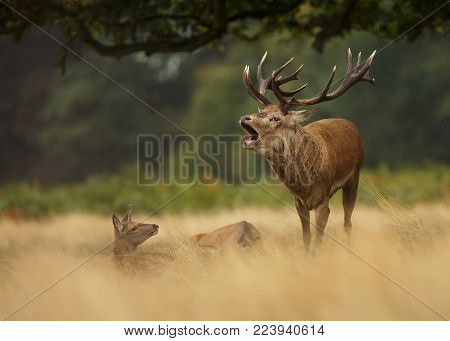 Red deer stag bellowing in the grass among a group of hinds, UK.