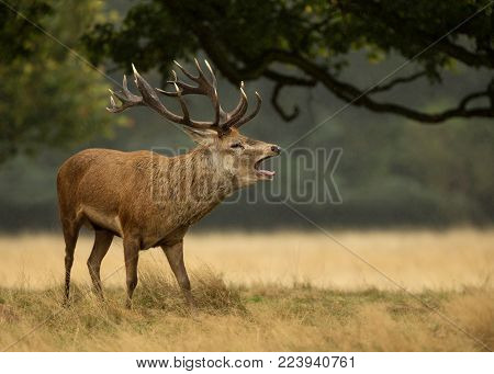 Close up of red deer stag bellowing in the rain, UK.