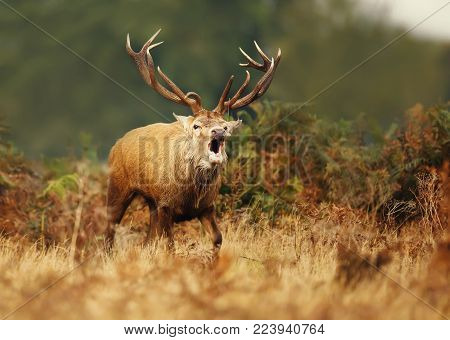 Red deer stag bellowing during the rut in autumn. Rutting season, UK.