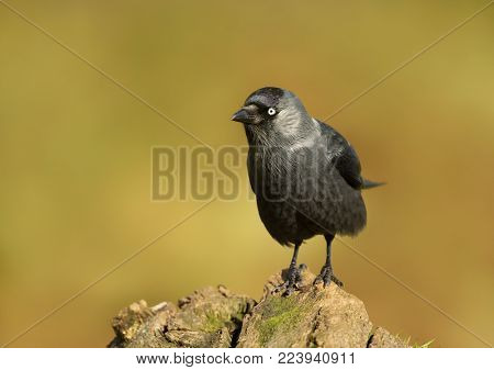 Jackdaw on a post against colourful background, UK.
