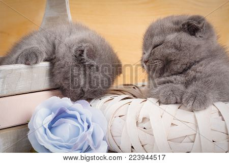 Sleeping Scottish Kittens. Home, Calm And Love Concept - Two Scottish Fold Cats Fall Asleep. Beautif