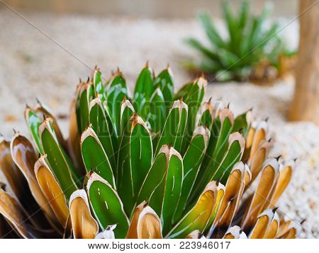 Succulent Agave queen victoria bloom, in soft sand indoor planter. Agave victoriae-reginae plant, bloom of green and brown stalks with spines on top, landscape format.