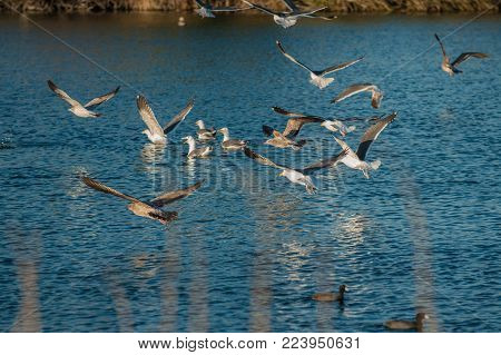 Flock of Seagulls franically taking off from the surface of the pond water.