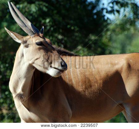 Long Horn